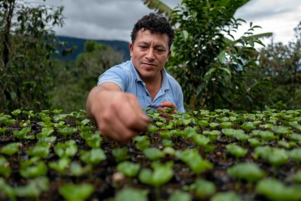 Uprawa kawy w Peru. Zdjęcie: materiały prasowe.