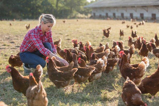 Kury w chowie wolnowybiegowym i ekologicznym mają dostęp do światła słonecznego oraz świeżego powietrza. Nie spędzają całego życia zamknięte w klatkach / zdjęcie: Shutterstock.com